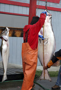 Measuring a large halibut