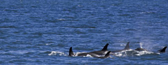 Viewing Alaska's Orca or Killer Whales