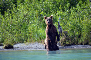 Brown Bear standing at river edge